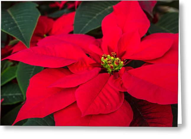 Red Christmas Beauty Greeting Card