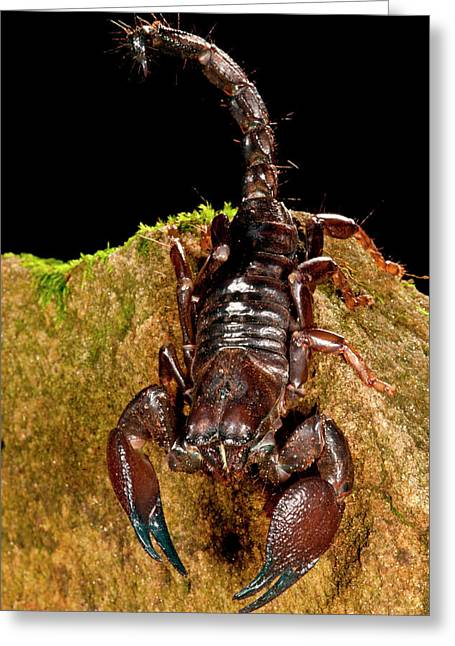 Red Claw Emperor Scorpion, Pandinus Greeting Card by David Northcott