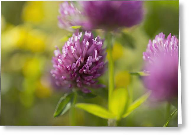 Red Clover _trifolium Pratense__ Black Greeting Card by Carl Bruemmer