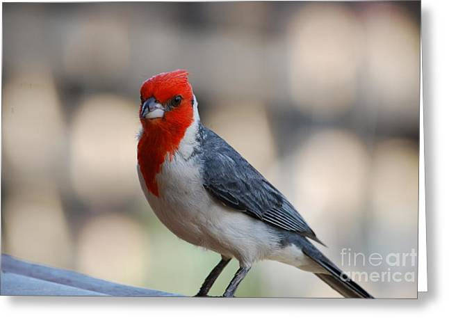 Red Crested Cardinal Greeting Card by DejaVu Designs