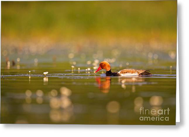 Red-crested Pochard Greeting Card