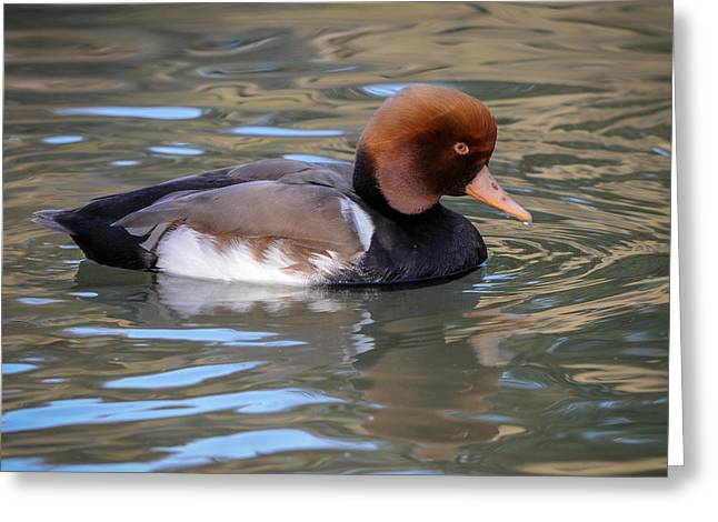 Greeting Card featuring the photograph Red Crested Pochard by Tyson and Kathy Smith