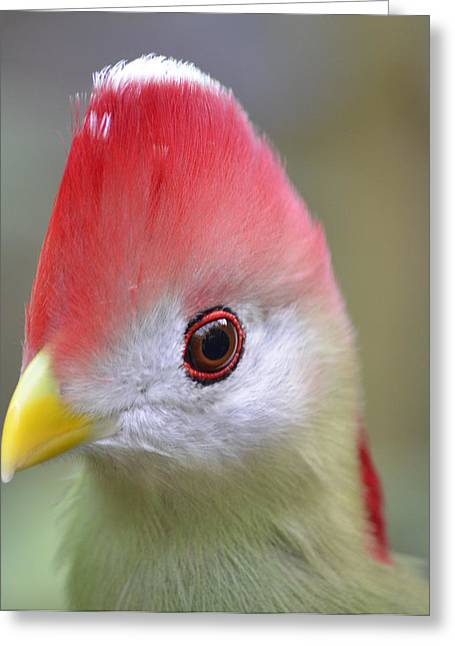 Red Crested Turaco Greeting Card