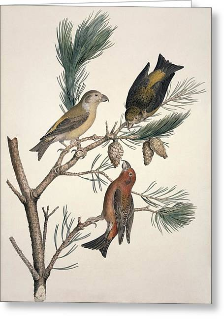 Red Crossbill, 19th Century Greeting Card