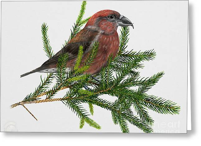 Red Crossbill -common Crossbill Loxia Curvirostra -bec-crois Des Sapins -piquituerto -krossnefur  Greeting Card