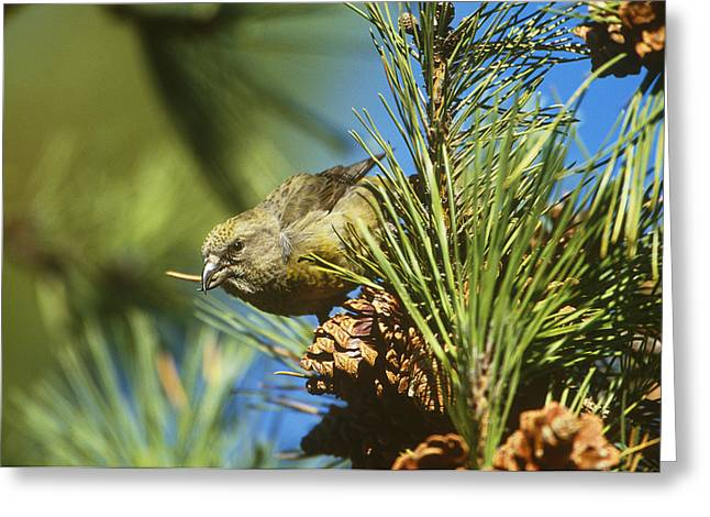 Red Crossbill Eating Cone Seeds Greeting Card by Paul J. Fusco