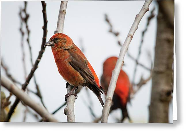 Red Crossbills Perch In A Willow Greeting Card