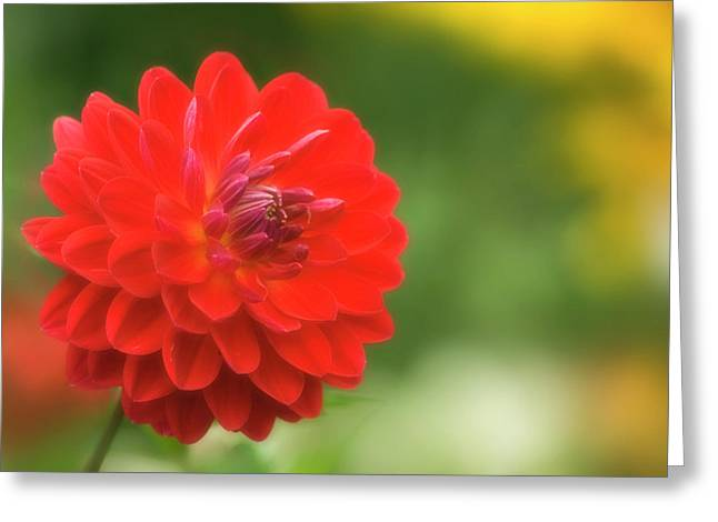 Red Dahlia (dahlia Sp.) Greeting Card