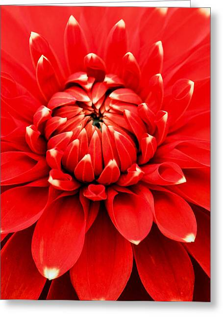 Greeting Card featuring the photograph Red Dahlia With White Tips by E Faithe Lester