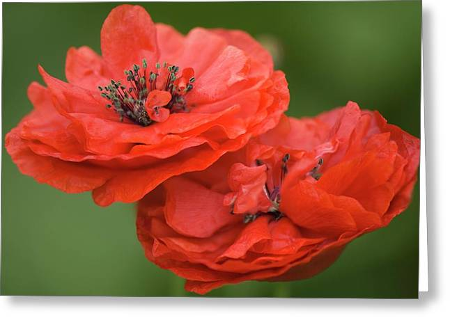 Red Double Shirley Poppies Greeting Card by Maria Mosolova