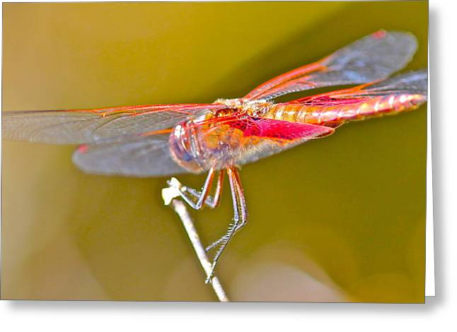 Red Dragonfly Greeting Card by Cyril Maza