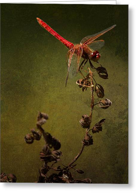 Red Dragonfly On A Dead Plant Greeting Card by Belinda Greb