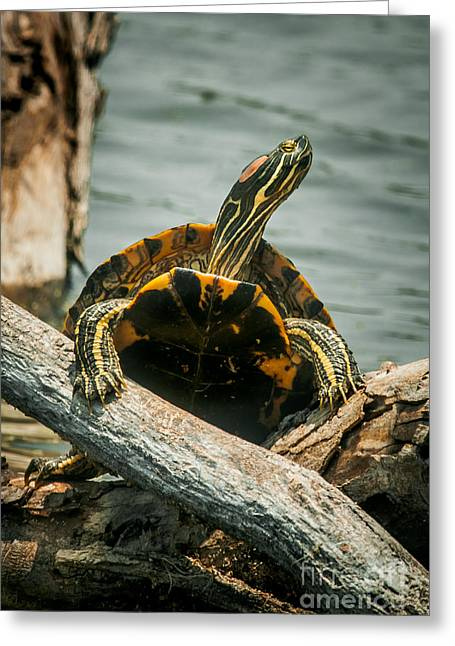 Red Eared Slider Turtle Greeting Card by Robert Frederick