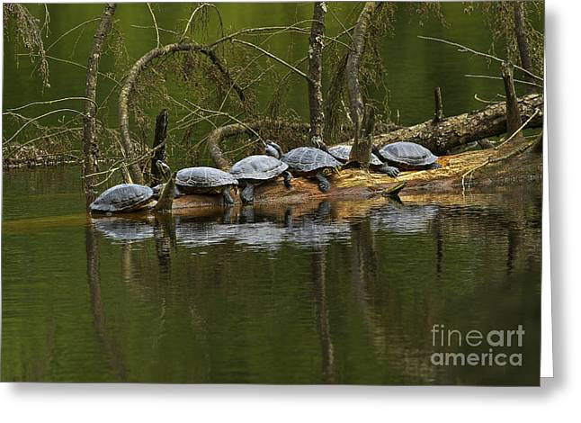 Red-eared Slider Turtles Greeting Card by Sharon Talson