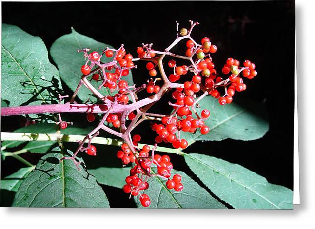 Greeting Card featuring the photograph Red Elderberry by Cheryl Hoyle