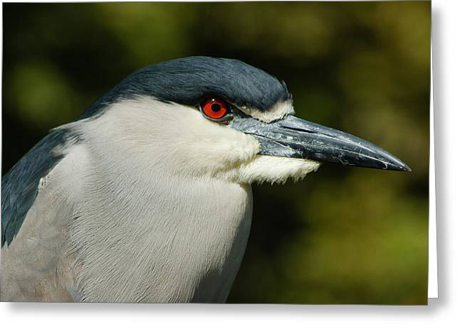 Greeting Card featuring the photograph Red Eye - Black-crowned Night Heron Portrait by Georgia Mizuleva