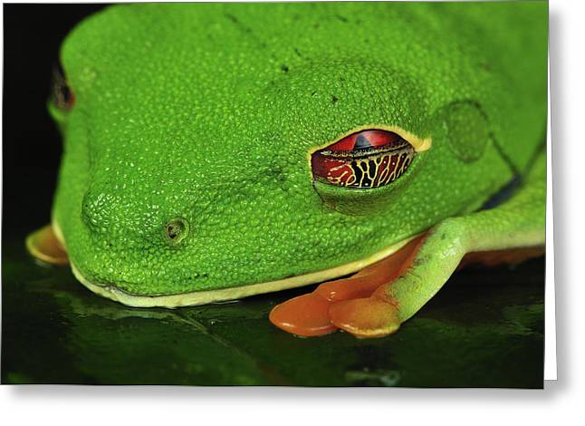 Red-eyed Tree Frog Closing Eyelid Costa Greeting Card by Thomas Marent