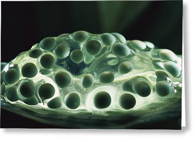 Red-eyed Tree Frog Eggs Greeting Card by Heidi & Hans-Juergen Koch