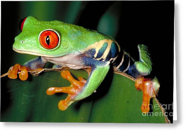 Red Eyed Tree Frog Greeting Card by Gregory G. Dimijian