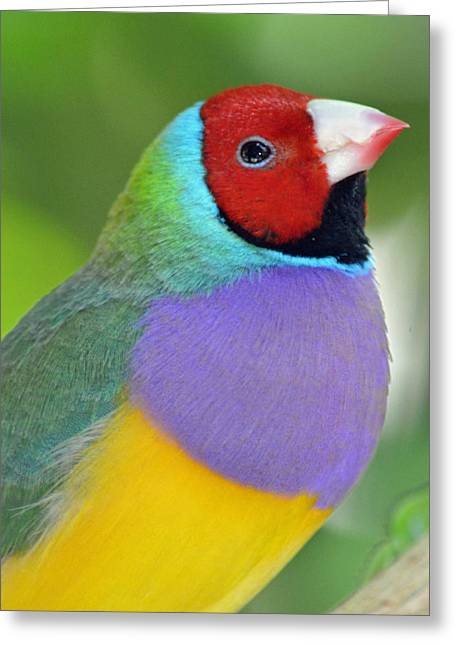 Red Faced Gouldian Finch Greeting Card by Richard Bryce and Family
