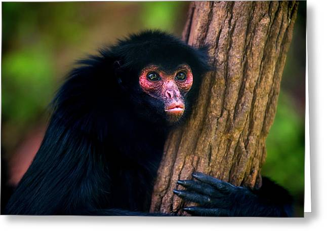 Red-faced Spider Monkey Ateles Paniscus Greeting Card
