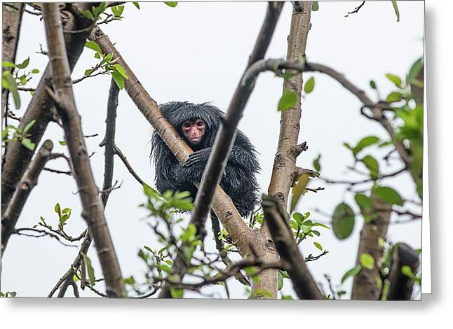 Red-faced Spider Monkey Greeting Card by Pan Xunbin