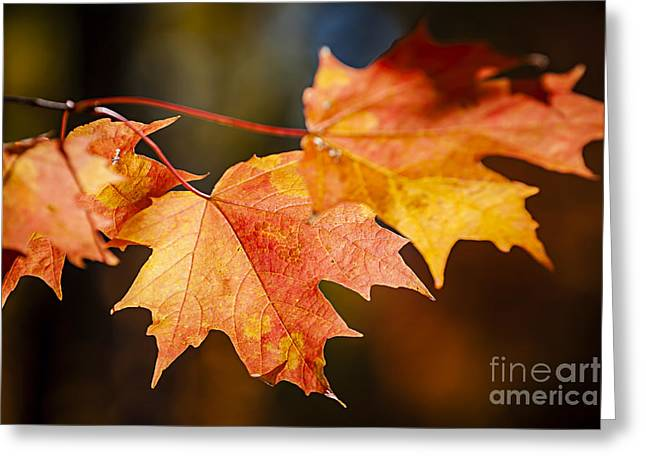 Red Fall Maple Leaves Greeting Card by Elena Elisseeva