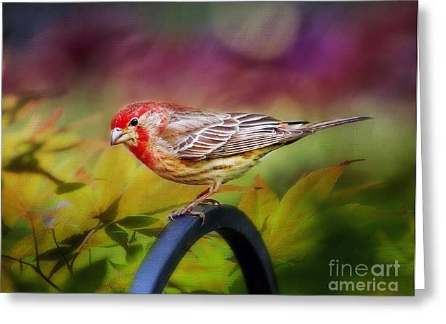 Red Finch Greeting Card by Darren Fisher
