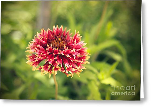 Greeting Card featuring the photograph Red Flower by Mohamed Elkhamisy