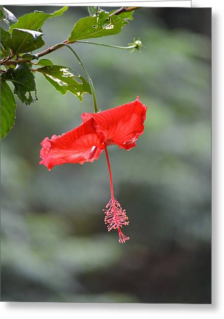 Red Flower St. John's Greeting Card