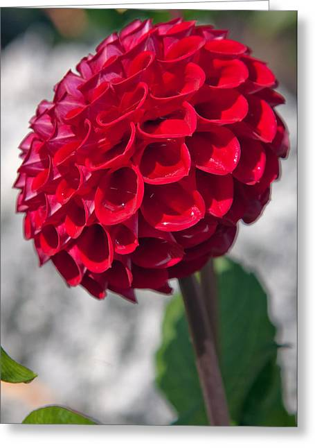 Red Flower With White Background Greeting Card