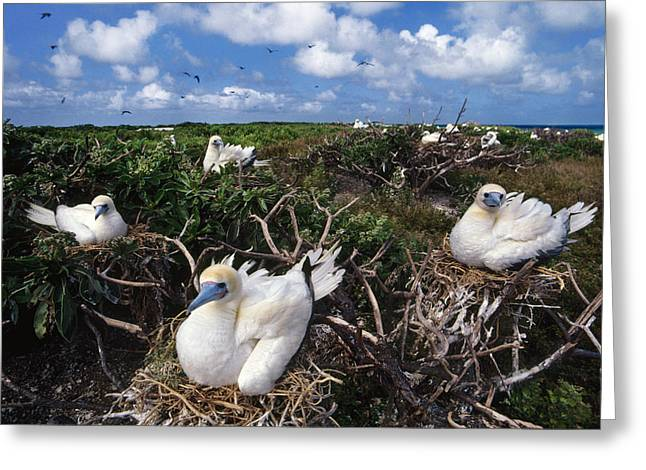 Red-footed Booby Nesting Colony, Hawaii Greeting Card