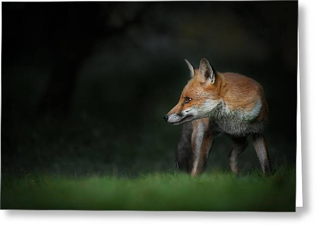 Red Fox Greeting Card by Andy Astbury