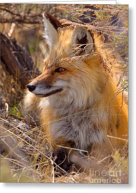 Greeting Card featuring the photograph Red Fox At Rest by Aaron Whittemore