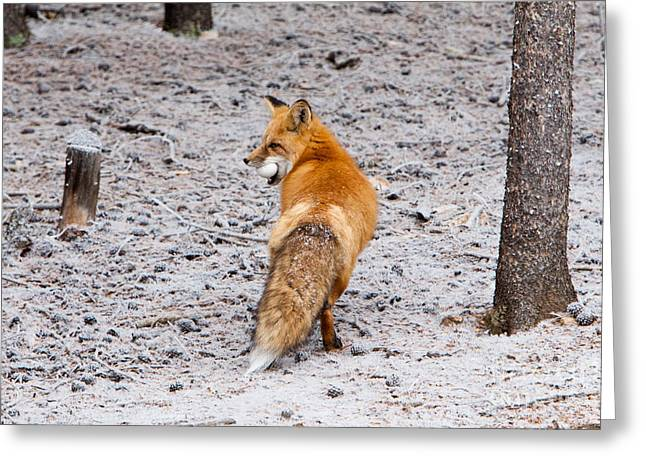 Greeting Card featuring the photograph Red Fox Egg Thief by John Wadleigh