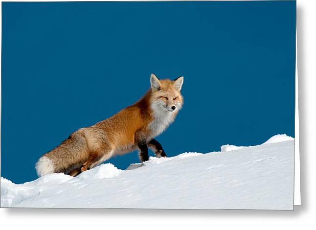 Red Fox Greeting Card by Gary Beeler