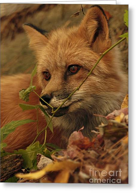 Red Fox In Autumn Leaves Stalking Prey Greeting Card