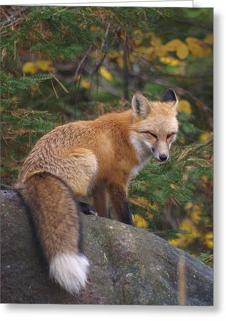 Greeting Card featuring the photograph Red Fox by James Peterson