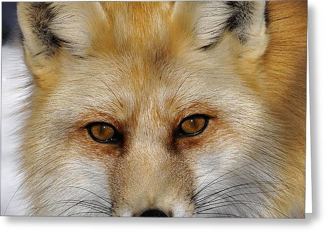 Red Fox Portrait Greeting Card by Rodney Campbell