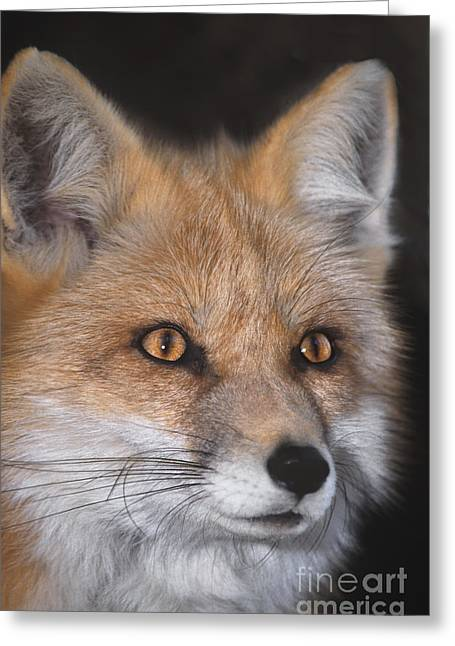 Red Fox Portrait Wildlife Rescue Greeting Card