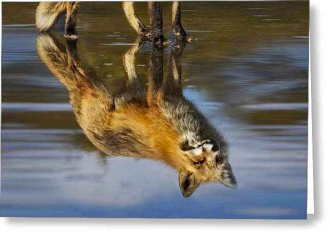 Red Fox Reflection Greeting Card