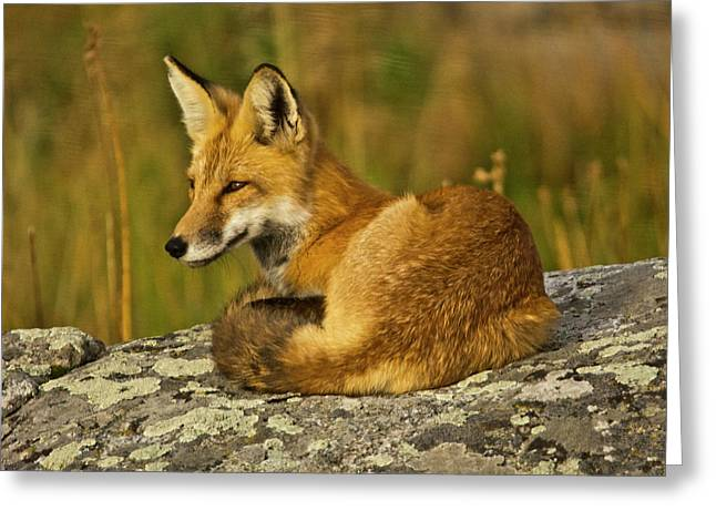 Red Fox, Resting, Rock, Lamar Valley Greeting Card