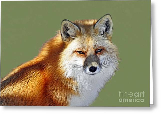 Red Fox Greeting Card by Rodney Campbell