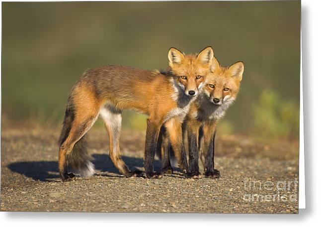 Red Fox Siblings In Denali  Greeting Card