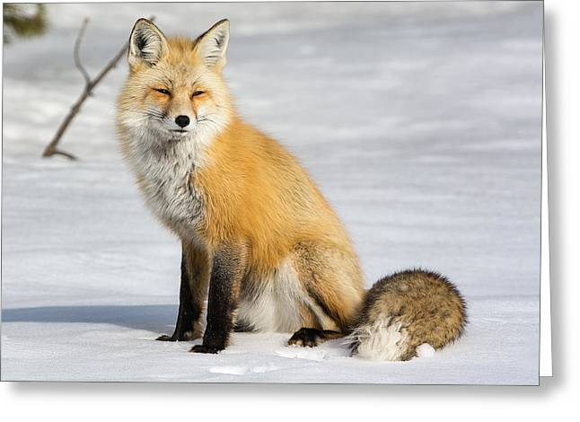 Red Fox Sitting Greeting Card