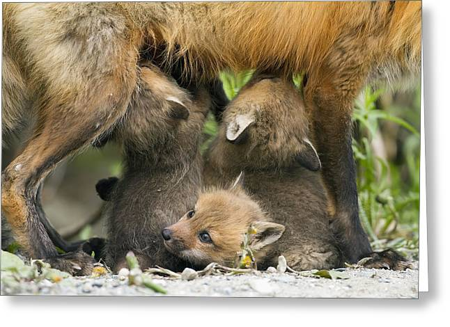 Red Fox Vulpes Vulpes Cubs Suckling Greeting Card by Philippe Henry