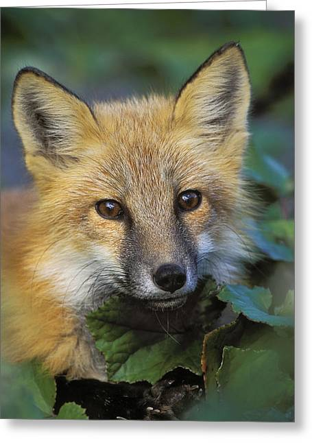 Red Fox Vulpes Vulpes, Gros Morne Greeting Card