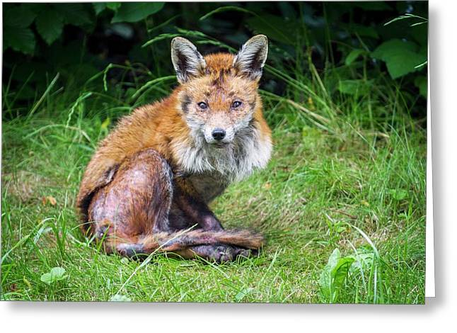 Red Fox With Mange Greeting Card