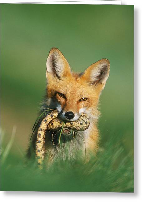 Red Fox With Snake Greeting Card