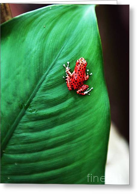 Red Frog Greeting Card by John Rizzuto